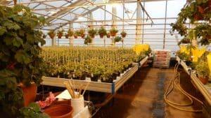 Perfect Pelargoniums